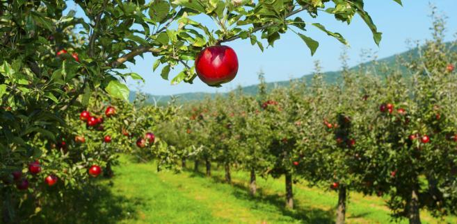 Polskie jabłka – problemy i sukcesy