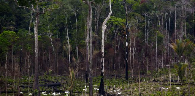 Bydło pasie się w pobliżu wypalonej części lasu deszczowego w Brazylii. Fotograf: Dado Galdieri / Bloomberg